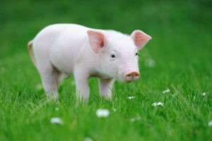 sustainable-development-community-meaningful-gift-pig