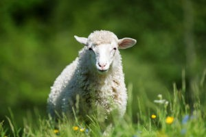 sustainable-development-community-meaningful-gift-sheep
